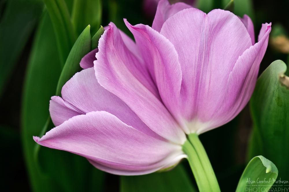 Tulip 'Alibi' at Keukenhof Gardens in Lisse, The Netherlands