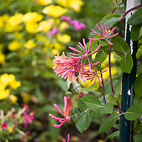 Annual and Perennial Vines: Lonicera x heckrottii, goldflame honeysuckle.