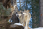 Two gray wolves watch as a third howls in wooded winter habitat. Captive pack.