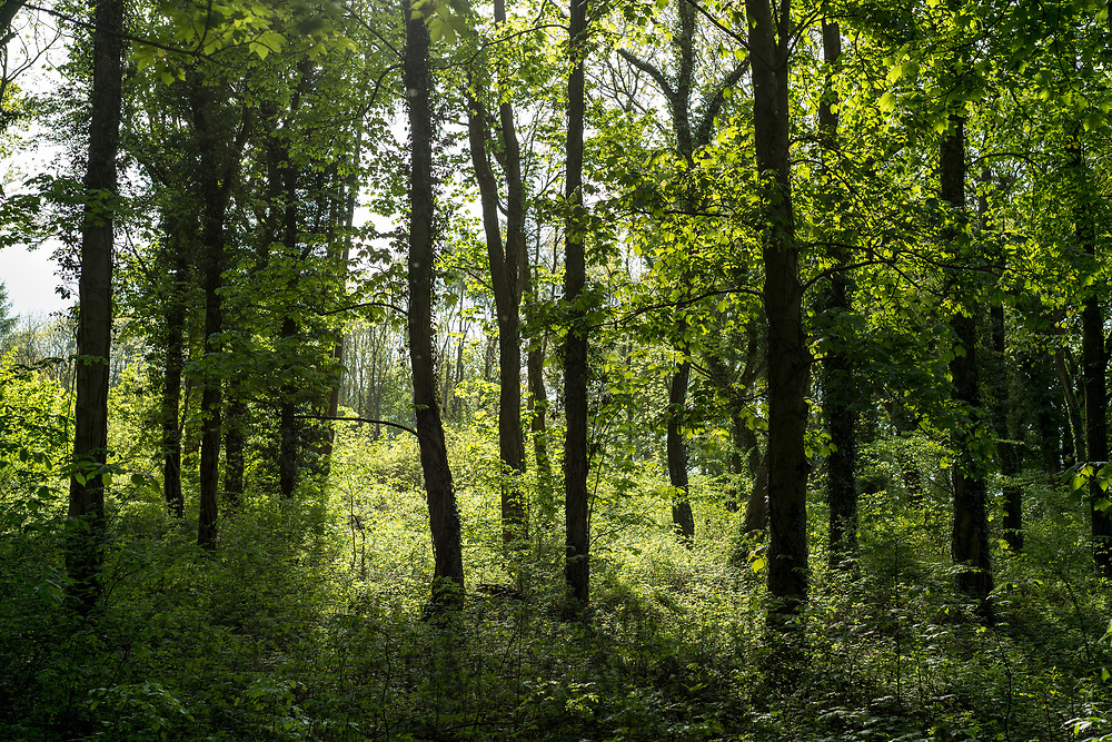 Woodland tall trees in late Spring / early Summer in the Gloucestershire Cotswolds, UK