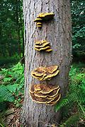 Bracket fungus, rusty gilled polypore, Gloeophyllum sepiarium, Upper Hollesley Common, Suffolk, England, UK