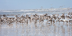 Flocks of shore birds rise by the water at Eighty Mile Beach.