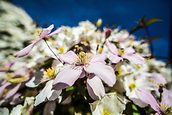 Clematis blooming in the morning sunlight, Scotland.