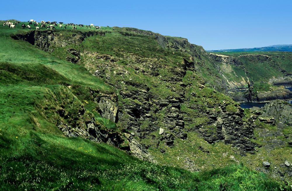 Cows graze in cliff top pastures overlooking the ocean, County Cork, Ireland