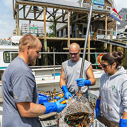 "Jim Merryman (center) is captain of the lobster boat ""Hunter James"" and owner of Potts Harbor Lobster. His crew is William Maines and Ashley Conrad. Harpswell, Maine."