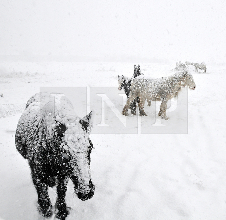 © under license to London News Pictures. 18.12.2010. Horses feed in the deep snow near Heathrow airport in London today (Sat) . Photo Credit should read Stephen Simpson/London News Pictures