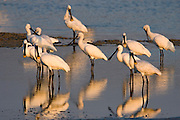 Common Spoonbill (Platalea leucorodia) flock stands in water, north Israel