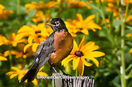 01382-05111 American Robin (Turdus migratorius) on fence post in flower garden with Black-Eyed Susans (Rudbeckia hirta) Marion Co., IL