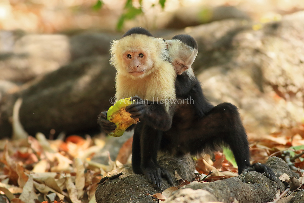 Female white-faced capuchin monkey (cebus capucinus) carrying baby on back. Palo Verde National Park, Guanacaste, Costa Rica.