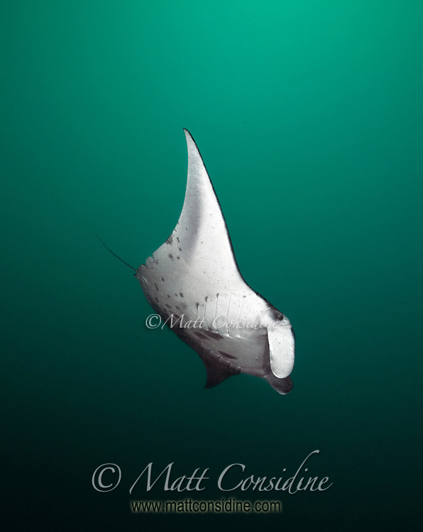 When the water is rich in plankton and other life it takes on a green hue.  It is at these times that the manta rays will loop through the water in loose formation. Sometimes the mantas will repeatedly loop around the diver, Palau Micronesia. (Photo by Matt Considine - Images of Asia Collection)