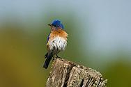 Eastern Bluebird, Sialia sialis, male on fencepost