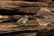 Water dragon from an exhibit in the National Aquarium, Baltimore, MD.