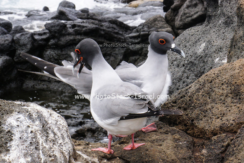 swallow-tailed gull (Creagrus furcatus) Photographed in the Galapagos Island, Ecuador