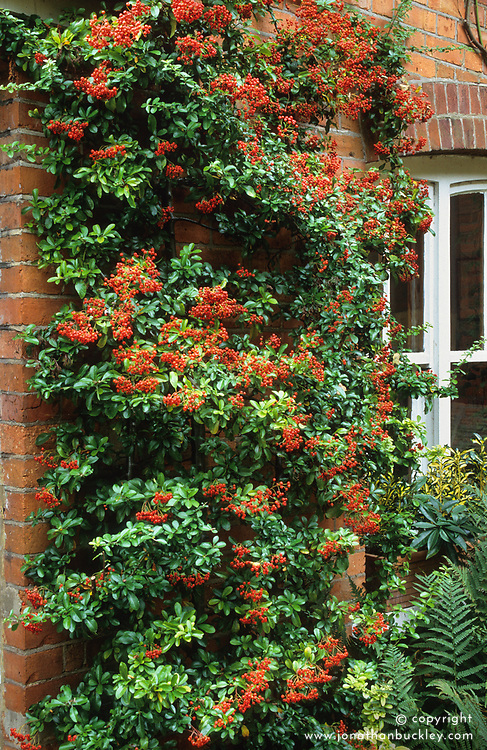 Pyracantha growing on a wall.