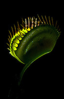 A venus flytrap with its trap illuminated