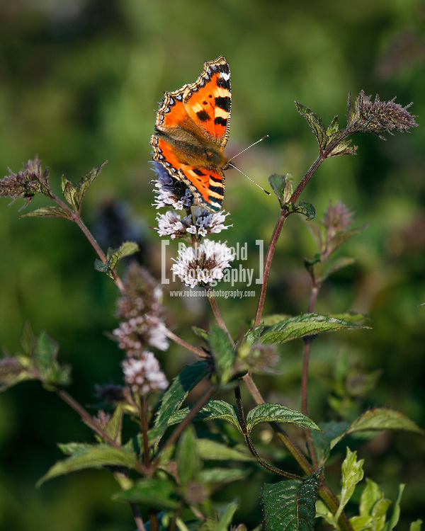 © Rob Arnold. 06/08/2014. Hampshire, UK. A Small Tortoiseshell Butterfly (Aglais urticae) on Black Mitcham peppermint growing in the fields on the Malshanger estate. The peppermint will soon be harvested to be turned into tea and oil, which is used in chocolate making and other food products. The farm grows mint, lavender and camomile as their 'aromatic' crop, along with the staple farm crops such as wheat, barley and oats. The oil is available direct from Summerdown Mint, but is also available from Neal's Yard in London. The tea is sold at leading retailers nationwide, including Booth's, Harvey Nichols, Partridge's & Waitrose. Photo by Rob Arnold