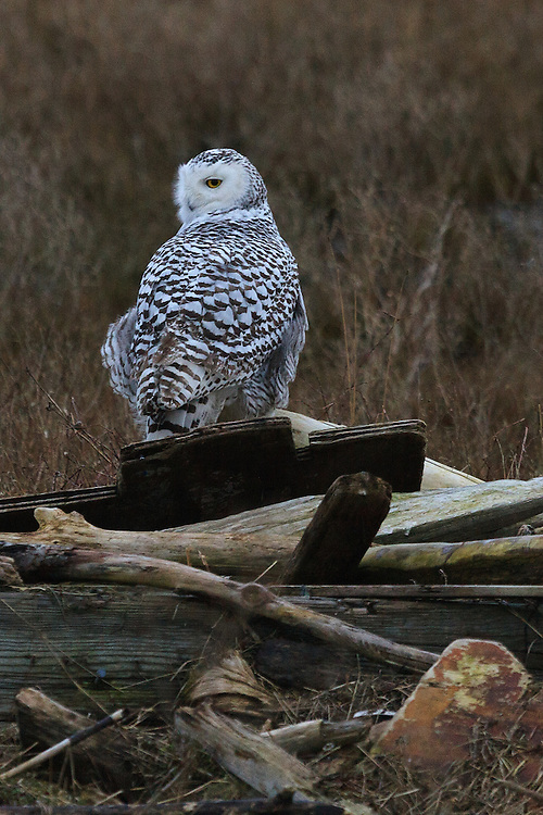 Snowy Owl, Boundary Bay, British Columbia