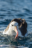 Black-Browed Albatross feeding on the oceans surface, Cape Canyon Trawl Grounds, South Africa