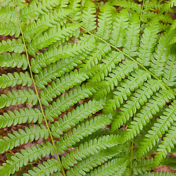 Ostrich ferns, , Matteuccia Struthiopteris, in a forest in Medfield, Massachusetts.
