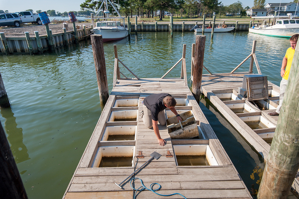 On Maryland's Eastern shore, a man retrieving oysters from the Chesapeake Bay.