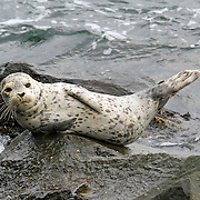 Harbor seal pup finds a comfy rock along the West Seattle shoreline.