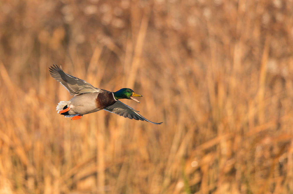 Mallard (Anas platyrhynchos) Drake calling in flight, North Texas