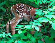 FAWN IN THE WOODS, E. DORSET, VT