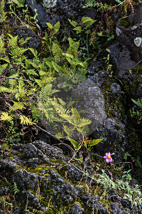Ferns and wildflowers grow from dried lava rock in the remote village of San Juan Parangaricutiro, Michoacan, Mexico. The region was buried during an eight-year eruption of the Paricutin volcano which consumed two villages in 1943 and covered the region in lava and ash.