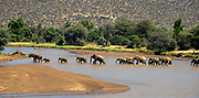 African Elephants crossing the river Ewaso N'giro in Samburu NP, Kenya
