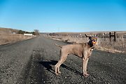 Sugar posing with her ball in her mouth and her ear blowing up on a rural empty road