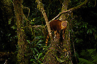 A Goodfellow's Tree Kangaroo (Dendrolagus goodfellowi pulcherrimus) crosses a fallen log bridging a small gorge.<br />