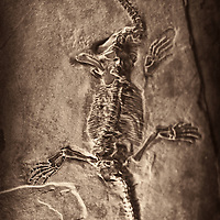 Fossilised skeleton of dinosour. Plesiosaur. (Lario Balsami)