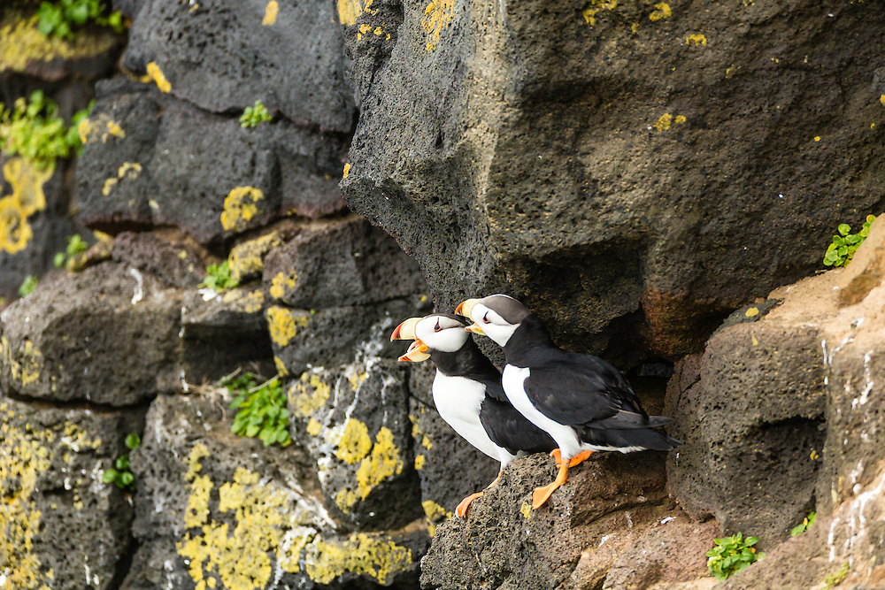 Horned Puffins (Fratecula corniculata) perched on the cliffs of St. Paul Island in Southwest Alaska. Summer. Afternoon.