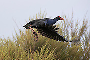 Pukeko in flight, at Pauatahanui Wildlife Reserve, Wellington, New Zealand