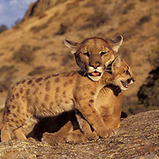 Mountain Lion or Cougar, (Felis concolor) Adult and young. Rocky mountains. Montana.  Captive Animal.