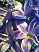 Pastel rendered macro shot of beautiful purple hyacinths.