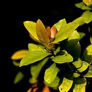 Chinese Ixora, Ixora Chinensis Lam., Tainan City, Taiwan