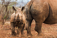 A white rhino calf stands close to her protective mother. As a result of the rampant poaching of rhino for their horn, the tipping point has now been reached where more rhino are being killed than are being born per year.