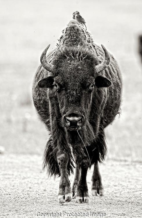 American Bison.  (Bos bison), Courtenay, British Columbia, Canada, Photographer - Isobel Springett