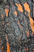 Close up Burnt pine tree. Photographed in Haifa, Israel