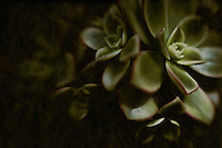 A moody abstract of a succulent cluster.