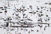 Hornborgasjön - utvalg