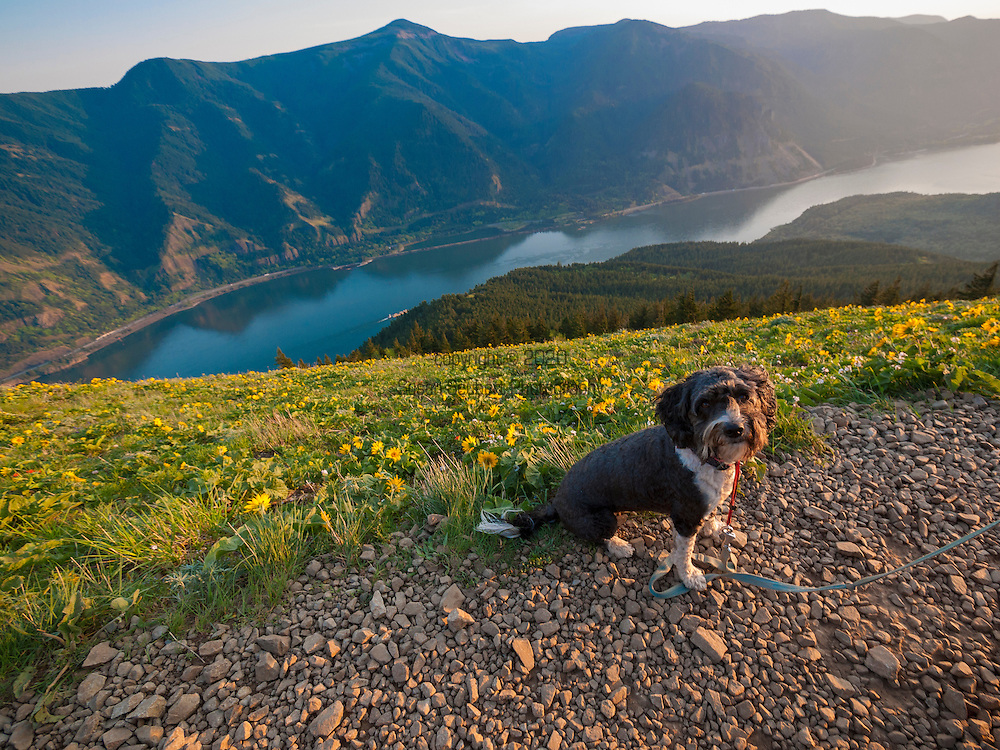 """Dog Mountain rises above the north side of the Columbia River Gorge in the U.S. state of Washington. The base of the mountain is in Skamania County along Washington State Route 14, about 9 miles east of Stevenson. From its base at 150 feet, it climbs steeply to an elevation of 2,948 feet. The mountain is the site of a popular hiking trail that begins on the north side of Route 14 at milepost 53. The 6-mile (9.7 km) trail winds through heavy forest to meadows and the site of a former fire lookout. After climbing steeply for about the first half mile, the trail splits into two forks that meet again at the summit. Attractions include views of the Columbia Gorge, Mount Hood, and wildflowers, especially in May. Flowering plants along the trail include chocolate lily, woodland star, fairy slipper, long-spurred violet, and yellow fawn lily. Hazards include poison oak, rattlesnakes, and steep slopes. The trail's difficulty caused one writer to describe it as """"a grueling hike""""."""