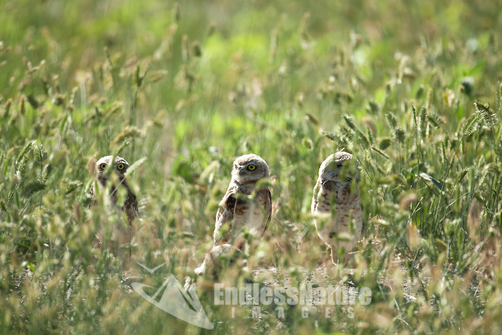 A Burrowing Owl family stands outside its burrow in the tall grass enjoying the sunshine.