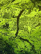 Tapis d'algues vertes - grüner Algenteppich. © Romano P. Riedo