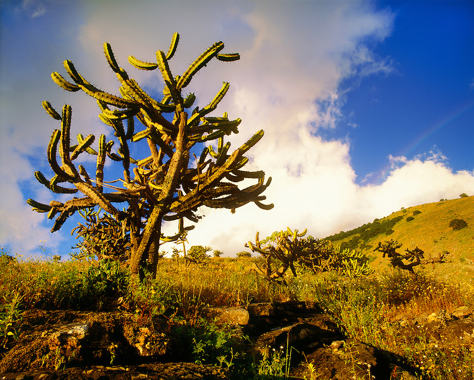 6105-1019 ~ Copyright:  George H. H. Huey ~ Bilbery cactus at sunset in the foothills of the Sierra Madre.  Queretaro, Mexico.