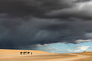 Nomad walks with four camels (dromedary) against dark rainy sky, at Erg Chebbi in Merzouga, Sahara desert of Morocco.