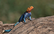 Common Agama (Agama agama) in Samburu National Reserve, Kenya.