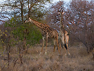 Giraffe on the Moditlo game reserve.