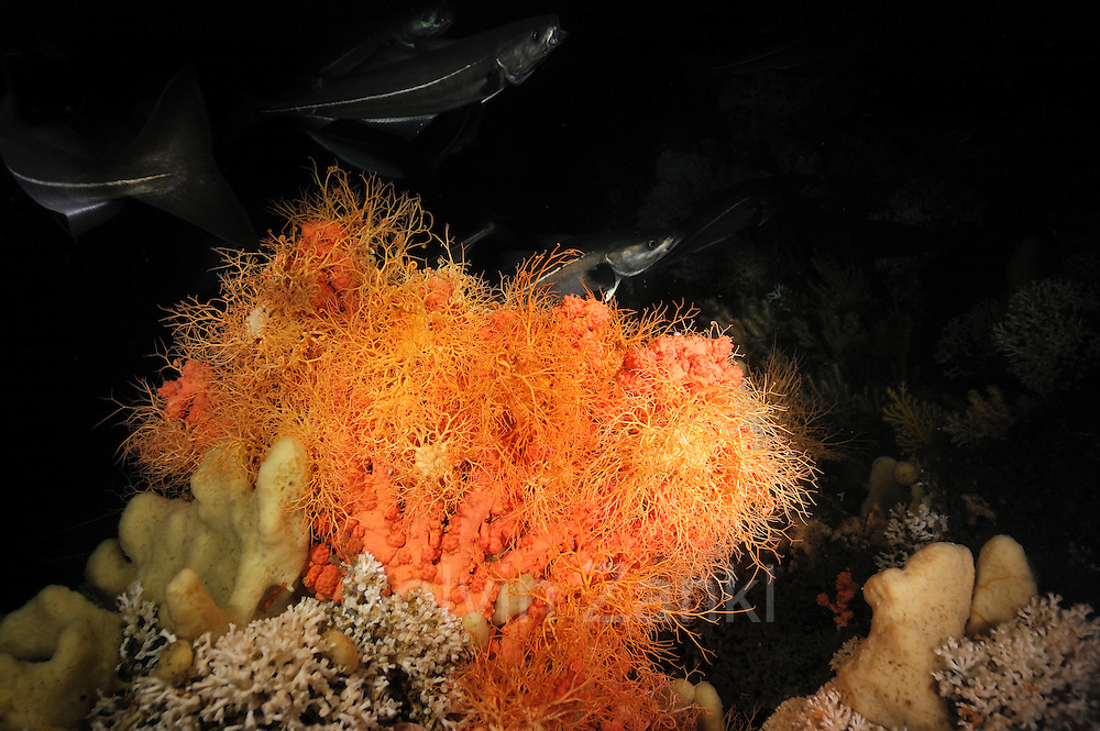 Bubblegum coral (Paragorgia arborea) with basket star (Gorgonocephalus caputmedusae) with in the live Lophelia pertusa reef in Trondheimfjord, North Atlantic Ocean, Norway | Die lachsfarbene Korallenkolonie der Art Paragorgia arborea gehört zur Gruppe der Gorgonien. Erst auf den zweiten Blick erkennt man, dass zahlreiche, gelb-orangefarbene  Gorgonenhäupter (Gorgonocephalus caputmedusae) auf ihr sitzen. Diese Tiere sind Schlangensterne und somit nahe Verwandte der Seesterne und Seeigel.
